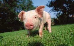 قلوب الخنازير قد تنقذ حياة البشر قريبا image